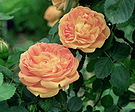 soleil d'Or rose, though not a winter bloom.